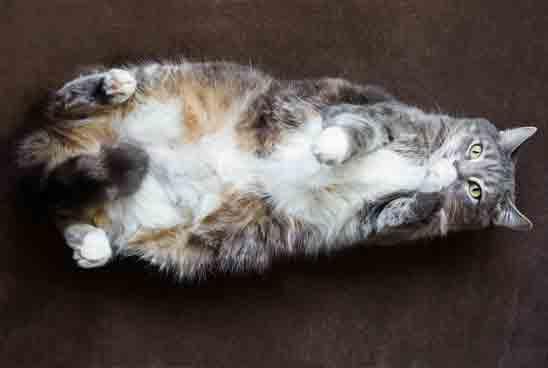 מה עושים עם חתול שמן?