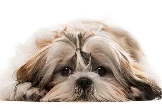 כלב שיצו / שי טסו Shih Tzu - ריבוי מקרים יחסי